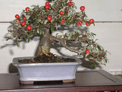 apple-bonsai-tree