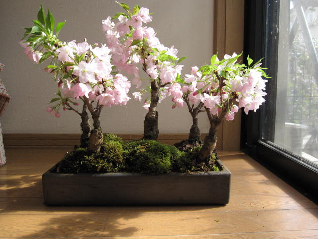 bonsai tree 3