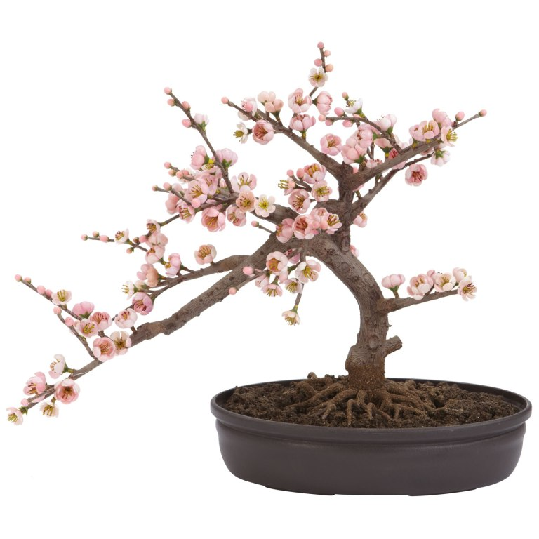 cherry bonsai tree